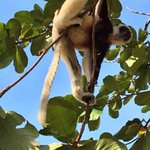 Sifaka in tree