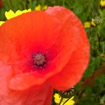 Lovely poppies ...