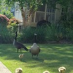 Geese with babies beginning of summer