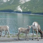These awesome creatures were along the lake- there was elk wandering further up the scenic road.