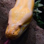 albino python in the reptile section