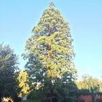 sequoia centenaire