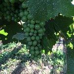 Marchesi grapes