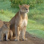We came across this lioness with her cubs early one morning - just us and them!