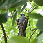 White-Crowned Pigeon in a tree at the Audubon House.