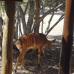 Nyala can be found throughout the grounds, just like this one near the deck of my room.