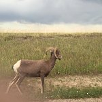 A small group of Bighorn Sheep grazed right beside our car on Sage Creek Rim Road
