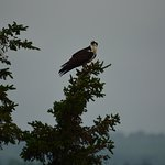 Osprey watching over the property.
