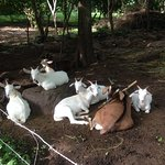 There are many goats on the Farm