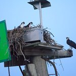 An osprey family - the young were almost ready to fly.