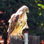Loantaka Brook Reservation Hawk