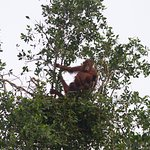 Orangutan female with young in nest making ready for the night