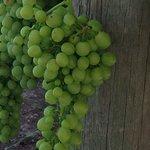 Barbera grapes!