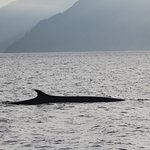 Fin Whale on way to Aialik Glacier