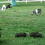 Farm Animals on the Property.