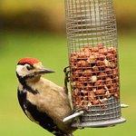 Woodpecker in the garden