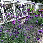 A fine display of verbena outside the greenhouse in the botanic garden at Lacock Abbey