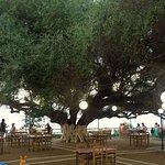 olijfboom ouder dan 1500 jaar