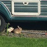Wildlife on caravan park 🐰