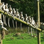 lemurs on the line