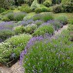 Jersey Lavender Farm Foto