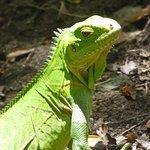 patience, silence, et vous verrez les iguanes
