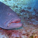 huge grouper