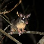 Four-Eyed opossum -Mangrove Night Boat Tour