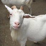 Козочка, которая живет в Ванпаку лэнд в г.Одавара