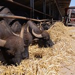 Buffaloes on the associated Mozzarella Farm