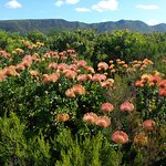 This is the outcrop of Pincushions currently in full bloom