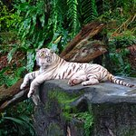 Stunningly beautiful white tiger! :)