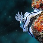 Nudibranche - Moalboal