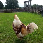 """The resident rooster...named """"chicken""""!"""