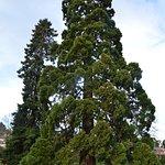 Magnificent Pine