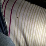 The first of many bed bugs found on my bed!
