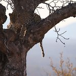 Leopard with a fresh kill