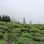 Tea garden at Darjeeling