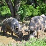 Heritage breed Ossabaw Hogs