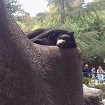 Bear Sleeping at the LA Zoo