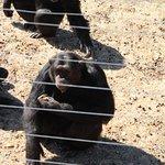 chimps @ jane goodall