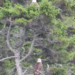 2 adult Eagles