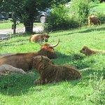 Les vaches que vous pouvez voir dans la plaine et acheter leurs viandes