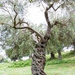 Olivenbaum auf dem Gelände