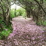 Rhododendrons on a path in Reenagross Park, which is connected to The Sallyport.