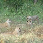 Lions in Tsavo West