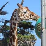 Girafe très proche des visiteurs