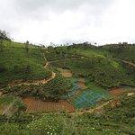 Tea fields as seen from hotel entrance
