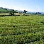 Plantações de Chá Gorreana (Gorreana Tea Plantation) Foto