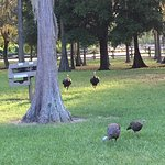 Campsite at fort wilderness. Turkeys walking through